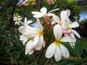 Tropical Plantation - Plumeria