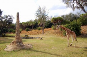 Animal Kingdom - Giraffe