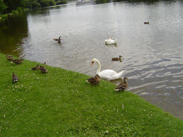 Avon-labudovi i patke