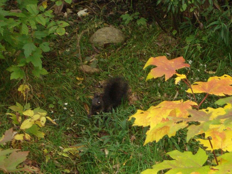 crna vjeverica