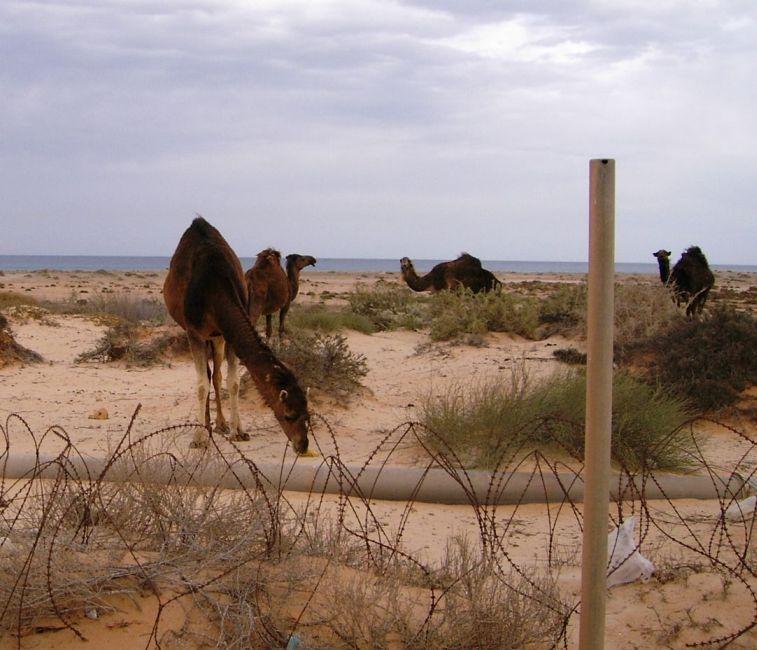 Deve u blizini kampa