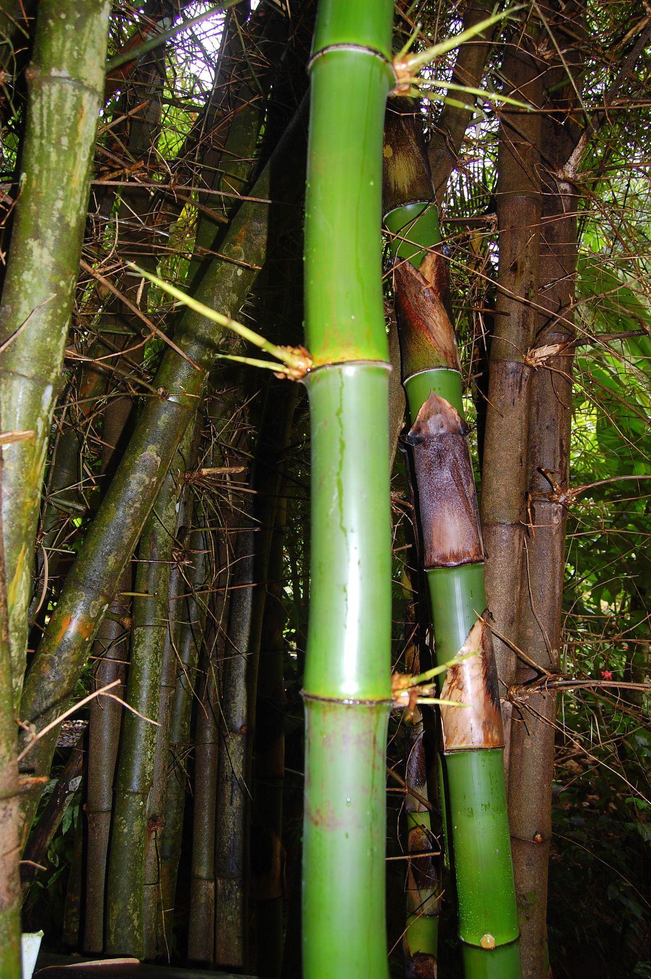 StLucia-Bambus