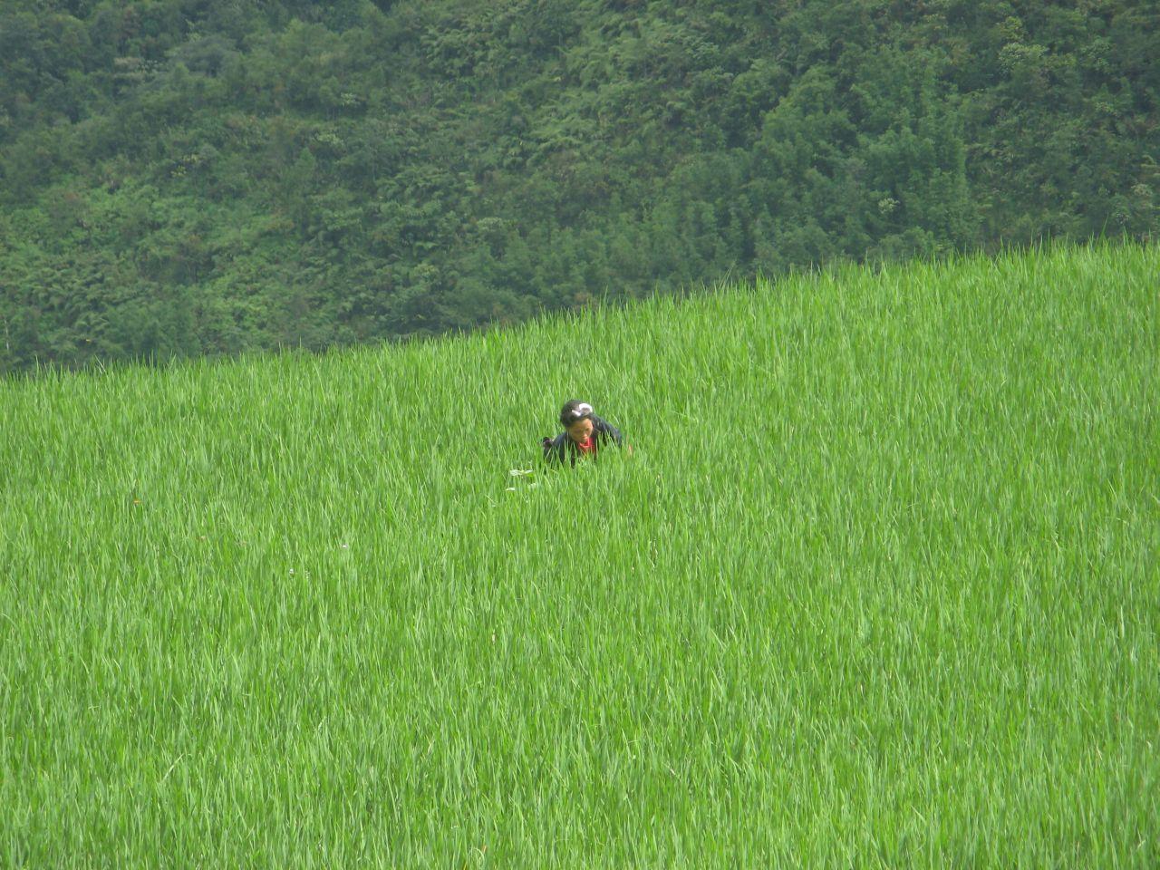Rižino polje