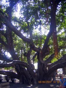 Lahaina Tree