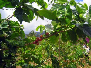Tropical Plantation - Coffee