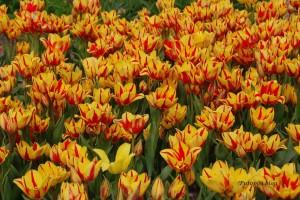 Tulips 5