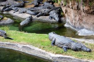 Animal Kingdom - Alligators