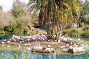 Animal Kingdom - Flamingos