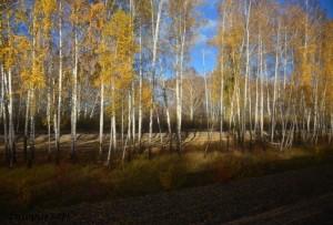 Slika 6. Ruska breza