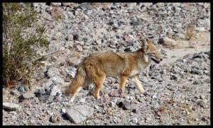 Kojot je tu, fali ptica trkačica