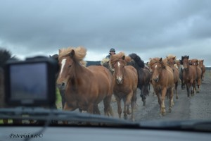 Zastoj na cesti – Iceland horses