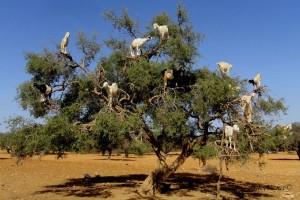 Araganovo stablo s kozama