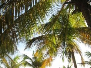 Palma kokosova obična