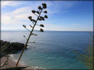 Cvijet agave