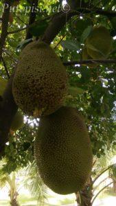 Jackfruit na grani